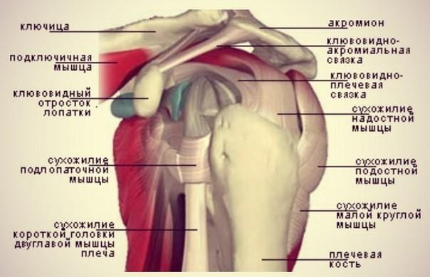 плечевые суставы у собак